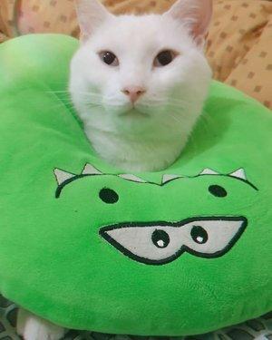 CatCat the Evil Cat 😈 #ClozetteID #catsofinstagram #CatCat #CatCatTheEvilCat #catsofinstagram #catlovers #catstagram #whitecat #whitecatsrule #whitecatsociety