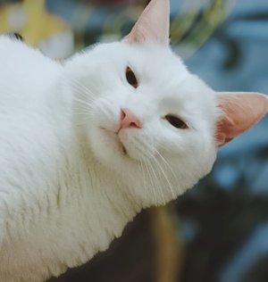 ᴇᴋꜱᴘʀᴇꜱɪ ᴡᴀᴊᴀʜ ᴘᴀʀᴊᴏ ᴀʟɪᴀꜱ ᴄᴀᴛᴄᴀᴛ ᴀʟɪᴀꜱ ᴄᴀᴛᴇʀɪɴᴇ ꜱᴀᴀᴛ ʟᴀɢɪ ᴋᴇꜱᴇʟ #clozetteid #catsofinstagram #CatCat #CatCatTheEvilCat #catsofinstagram #catlovers #catstagram #whitecat #whitecatsrule #whitecatsociety