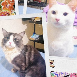 My naughty rascal cats #CatCat & #Keeo 🐱🐈#clozetteid #cat #mainecoon #mixbreed #mixedbreed #catsofinstagram #vintage #Keeo