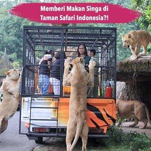 Butuh kegiatan memacu adrenalin? Kamu bisa coba kegiatan Feline Feeding Adventure di @taman_safari Bogor..Yap seperti di foto, kegiatan ini adalah memberi makan belasan singa Afrika secara langsung selama 15 menit yang dipandu oleh trainer dari Taman Safari Indonesia. Kegiatan ini bisa kamu coba secara langsung dengan biaya tambahan Rp250.000..Hayoo siapa berani?.📷 Taman Safari Indonesia#ClozetteID #Tamansafari #felinefeeding