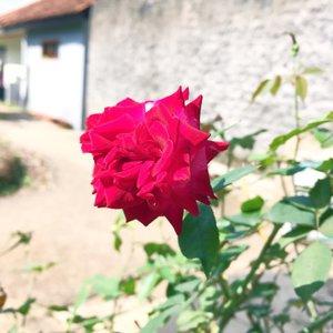 Beberapa tahun yg lalu ke tempat yg sama dan di pot yang sama, hanya saja bunga yg berbeda..yaiyalah, yakali bunganya idup tahunan kaga ganti2...#starclozetter #clozetteid #flower #flora #rose #mawar #summer