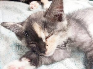 I aspire to be this cute when asleep. I also want to get a lot of nap like kittens does. 😪😪😪 They just nap, eat, play and repeat.  #kittens #kitten #cat #catoftheday #cute #pet #animals #😺 #🐱 #feline #instakitten #instacat #instapet #catsofinstagram #clozetteid #daily #cutie #❤