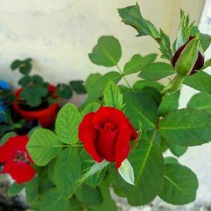 My red rosses 😍 Mulai merekah lagi.. Panennn bunga 😍 . . . . . #rose #redrose #bunga #minigarden #tanaman #nature #travelerblogger #womanlifestyle #ritystory #travelerlife #travelgram #womanblogger  #gallery_of_all #belajarmenanam #girlexplorer #clozetteid #mygallery #sonyxperia #homegarden #urbangarden #instagarden #womenwhoexplore #rityminigarden #berkebun