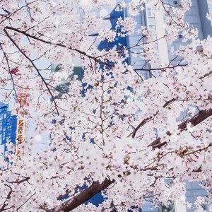 Cherry Blossom is here 🌸 . . . #clozetteid  #spring  #springseason  #koreaspring  #cherryblossom  #cherryblossomkorea  #cherryblossomfestival  #seoul  #tephtraveldiary  #seoul2019  #southkorea  #southkoreatrip  #travelling  #travelarroundtheworld  #travelblogger  #bloggersurabaya  #bloggerjakarta
