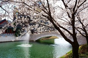 . Hello Friday, yang sedih WFH diperpanjang sampai 14 April tetap semangat supaya kita kembali sehat :) . Ceirta kali ini tentang Festival Cherry Blossom di Danau Seokchon yang diadakan setiap musim semi diTaman Naru Songpa, sebuah taman danau yang mengelilingiLotte World. Danau Seokchon memiliki sekitar 1.000 pohon cherry blossom yang membentuk terowongan bunga di sekitar danau, menciptakan pemandangan yang menakjubkan di musim semi . Selain itu festival ini menawarkan acara dan kegiatan yang menyenangkan bagi keluarga dan ada pula tempat wisata terdekat lainnya termasukLotte World Tower & Mall :) . Where :136, Samhaksa-ro, Songpa-gu, Seoul (서울특별시 송파구삼학사로 136) . 🇰🇷 @ktoid #timetravel #spring #cherryblossom #visitseoul #seokchonlake #akudankorea #kekoreaaja #ktoid #wowkoreasupporters #springinkorea #workwithhappy #playwithhappy #neverstopplaying #dearbeautylove #clozetteid #zilingoid #foodies #foodporn #foodphotography #foodgasm #loveyourself #speakyourself #neverafraid #changedestiny #daretobedifferent #ajourneytowonderland #like4like #march #2020