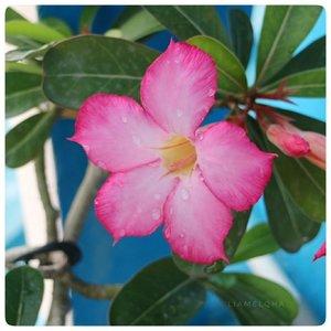 Meskipun lagi puasa, kalo punya tanaman jangan lupa disiramin. Supaya pas lebaran tanamannya tetap cantik juga kayak yang punya. #eaaa⠀⠀⠀⠀⠀⠀⠀⠀⠀🌸⠀⠀⠀⠀⠀⠀⠀⠀⠀*lagimainkamera⠀⠀⠀⠀⠀⠀⠀⠀⠀#ramadhanproduktif #BSxFanbo #beautiesquad #ClozetteID @beautiesquad @fanbocosmetics #flowerinframe #pinkflower #canoneosm3 #BloggerPerempuan #KumpulanEmakBlogger #IndonesiaFemaleBlogger #SociollaBlogger #KBBVmember #batambeautyblogger #batamblogger #indonesiabeautyblogger #beautybloggerindonesia #setterspace