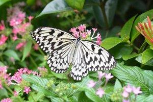 Kupu-kupu ini adalah 3 jenis kupu-kupu tropis yang ada di Butterfly Garden, Changi Airport. MashaaAllah lengkapnya memang bandara Changi ya. Ini masih edisi #throwback butuh piknik, hahaha. 😂😂..#clozetteid #clozettedaily #starclozetter #butterfly #butterflygarden #changiairport #naturephotography #d5200 #nikond5200 #nikonphotography