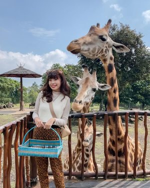 Giraffe 🦒 feeding @baobab.safariprigen ! Never been this close to any exotic animals before 🥰 They're all so cute and gentle. Spotted the shortie little one called covid 🤣 since it was born during this pandemic season. Traveling during this time requires so much effort yet this short gateway with these beautiful creatures seem to sweep all the tiredness away.  . . 📸 @priscaangelina . . . . . .  . . . #exploretocreate #exploreindonesia #girrafe #clozetteid #staycation #vacation #holiday #happy #shotoniphone #tamansafari #tamansafariprigen #ootd