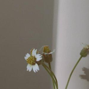 🌼🌼🌼———#clozetteid#ruedaily#shotsoniphone#gameoftone#terfujilah#filmphotography#aesthetic#aestheticfeed#suddenlycinematic#gameoftone#feedgoals#minimalfeed#minimalistfeed#minimalistindonesia#minimalismindonesia#hidupminimalis#slowliving#nature#wildflower#potd#dailyfudge