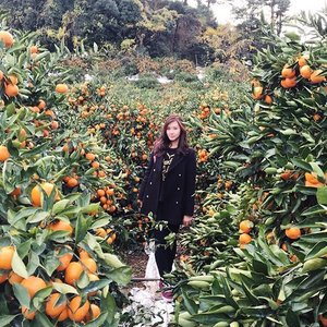 My Jeju trip day 1😋Now is the time for harvest these famous Jeju Hallabong 🍊  Really delicious 😆 Love it!! 😍 • • • • • • • #photooftheday #picoftheday #like4like #life #enjoy #holiday #happy #jeju #igers #instagood #instalike #instamood #instasize #followme #follow4follow #tagsforlikes #webstyle #webstagram #explorekorea #korea #clozetteID #COTD #meinframe #trenaya #fun #fall #famous #delicious #hallabong