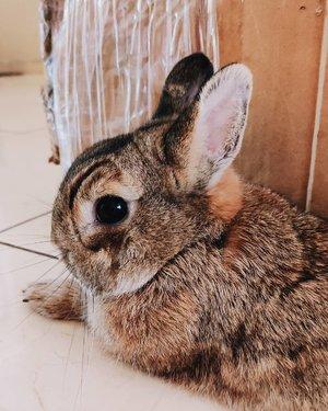 My bunny so cute😍Happy Wednesday everyone 😘....#potd #vscocam #vsco #vscophile #exploretocreate #peoplescreatives #photoshoot #igdaily #vscodaily #instadaily #photooftheday #justgoshoot #vscogood #clozetteid #snapseed #snapseeddaily #bunny #rabbit #netherlanddwarf #netherlanddwarfrabbit #dailybunny #dailyrabbit #instabunny #instarabbit #bunnystagram #rabbitsofinstagram #Vodkathebunny #vodkabunny #webstapets #instapets