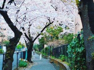 Di Jepang dan Korea saat ini lagi musim sakura. Kalau gak karena pandemi, mungkin aku udah pergi ke salah satu negara ini karena sakura terlalu sayang untuk dilewatkan.#throwback dulu aja foto 4 tahun yang lalu wkwkwk.Kangen bisa jalan-jalan bebas kayak dulu. :')#mondaymood #clozetteID #cKjapantrip #cKkoreatrip #japantrip #koreatrip #japan #korea #sakura #cherryblossom #throwbackmonday #chikastufftrip