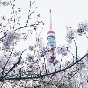 That one not-so-perfect sakura x Tokyo Tower shot I took before my camera died. My latest blogpost link about cherry blossom is still in my bio, click to read 🤗 . . . #clozetteid #japanloverme #ggrep #fujifilmxa2 #japantravel #travelblogger #travel #cherryblossom #sakura #abmtravelbug #여행 #일본여행 #旅行