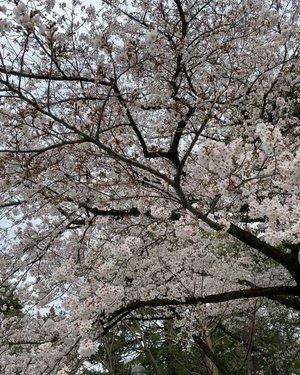 """#sakura di depan #TokyoUniversity  Pas datang sepertinya lagi musim wisuda, banyak yang foto-foto dengan baju wisuda di depan kampus dengan suasana #CherryBlossom  It's really romantic. Banyak gedung tua di kampus ini, bahkan satu sih auranya super creepy dan ditutup palang.... huuhuuuuu. Mau foto depan gedung itu tapi gak berani 🤣🤣 Kalian suka gitu gak sih? kadang """"berasa"""" aja kalau ada """"something""""? #tokyo #university #spring #tokyo2020 #love #clozetteID #travelwithcarnellin #hello #igvideo #video #live #igers #igdaily #igtravel #building #oldbuilding #architecture"""