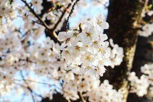 Pas kesini udah super excited sih secara udah bertahun-tahun pengen datang pas sakura blooming, which is cuma 2 mingguan. . Dan kalau engga peak ya sayang, ini pas banget peak, karena timingnya lebih cepat dari perkiraan hehehe, dan pas kita lagi datang kesini, tadinya mau kejer sampe ke Tokyo, karena disana udah peak duluan. . Untung gak jadi ke Tokyo, bukan hanya soal cost dan waktu, tapi yah kan udah di area Kansai, ya disini aja nikmatin. . Btw, harum loh, ada kaya sweet scent gt pas hanami (enjoying flower bloom). . #sakura #OsakaCastle #hanami #osaka #spring2018 #travel #Japan #Clozetteid #blogger