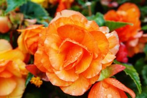 In a glance it looks like salmon sashimi 😋 maklum foodies sejati. But it's actually an orange tone rose. Gorgeous isn't it?! Jalan-jalan di #Hokkaido nemu banyaaaak banget bunga-bunga di pinggir jalan. Truly a nature paradise here. #orangerose #rose #nature #paradise #ClozetteID #beauty #flower #beautiful #lovely #laketoya #toyakun #summervacation #summerinjapan #triptojapan #rainydays