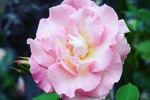 Oh yes! #TGIF weekend is coming on a speedy train chooo chooo 😍Have a gorgeously pink weekend ahead 😁#rose #pinkrose #flower #ClozetteID #love #Hokkaido #weekend #beauty #nature #summerinjapan #summervacation