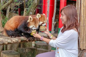 Nengokin Hu Chun dan Cai Tao, si panda putih yang baru datang dari China itu, eh merekanya bobok. Ya udah main sama panda merah aja. 😂 . Dulu pertama kali liat panda merah ada di Ocean Park, Hong Kong. Cuma bisa liat dari jauh. 😂 Di Taman Safari, bisa ikut kasih makan, tapi ngga boleh dipegang. Takut dicakar. 😁 . . . . . #panda #redpanda #picnic #travel #instatravel #travelgram #animal #tamansafaribogor #cisarua #blogger #travelblogger #instatrip #clozetteid #instadaily #shotoniphone