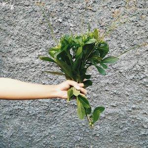 [Meramban; kegiatan yg harus dijaga]Pernah dengar istilah meramban? Meramban adalah kegiatan mencari dedaunan yg tumbuh liar untuk dikonsumsi. Tanya deh embah, eyang uyut atau orangtua kita yg dulunya tinggal di desa, pasti mereka sering meramban. Saya kenal meramban dari kelas online The Art of Foraging mba @dyahksi (makasih banyak buat ilmunya mba 🙏)Meramban gak secara random metikin daun terus lgsg makan yak 😁 Kita harus kenal & pelajari apakah tanaman tersebut layak konsumsi. Dan leluhur kita ahlinya dalam hal ini. Harusnya ilmu meramban ini diterusin ke setiap generasi krn ini termasuk survival skill. Pagi ini saya baru praktekin ilmu meramban. Ternyata gulma yg subur di depan rumah adalah #daunginseng sama seperti yg biasa saya beli dari supermarket. Nama kerennya Talinum Paniculatum atau biasa dikenal som jawa. Teksturnya kyk sukulen, berair dan harus dimasak cepat. Kalo kelamaan dimasak akan  menghasilkan lendir. Saya sendiri biasa konsumsi daun ginseng buat #greensmoothies. Tahu gini, saya gak perlu lagi beli #daungingseng krn tinggal ambil depan rumah. Ada gak tanaman liar yg pernah kalian konsumsi? 😆#zerowasteindonesia#DimasDewiMeramban#clozetteID#Indonesiabersihsampah2025#siapdarling