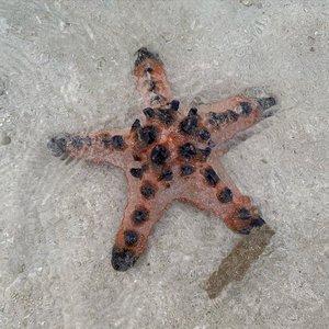 Ketika snorkeling pertama kali di Lampung beberapa waktu lalu aku berharap bisa menemukan bintang laut. Ternyata belum rejeki euy, cuma bisa kenalan sama ikan aja. Alhamdulillah kemarin ketemu dong waktu mampir ke Gili Kedhis kemarin ternyata bisa ketemu sama Bintang Laut. Ada dua jenis yang bisa diambil di pinggiran. Masyaallah tabarakallah, seneng banget liatnya. Btw Gili Kedhis ini memang banga pulau dengan pasir-pasir aja. Kecil kaya taman bermain, tapi masih bisa snorkeling koq.#VisitLombok#familytraveller#familytravelling #motherhood#lifestyleblogger#bloggerperempuan#clozetteid