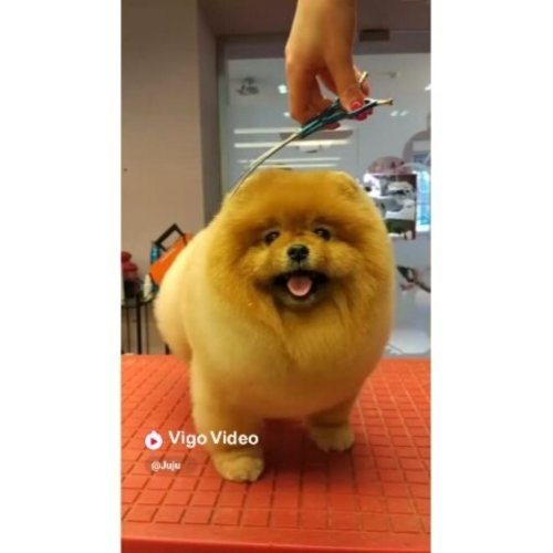 Ya ampun ni Doggy gemesin bangett yaa.. mau guee gulingin dehhh @hypstar.indonesia #hypstarindonesia yaa kan shay @tha_lovistha #clozetteid