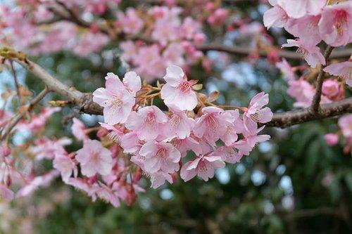 Sakura 🌸  Alhamdulillah beruntung bisa melihat bunga sakura yang mulai bermekaran. Saya datang di musim dingin, namun Allah Maha Baik, Allah menunjukkan saya kuasa-Nya, sang bunga icon Jepang ini mulai mekar.  Musim semi di Jepang sekitar akhir Maret diikuti dengan mekarnya bunga sakura. Dan tiap musim semi, Jepang diselimuti oleh hamparan bunga sakura yang keindahannya memanjakan mata. . . . . . .  #Japan #Sakura #JapanesseCherryBlossom #CherryBlossom #Travelmate #Landscape  #Landscapephoto  #Natureview #Adventure #Traveler  #Traveling #Travelingram #Travelphotography #ClozetteID #Blogger  #Bloggerlife #Bloggerswanted #BloggerPalembang  #BloggerPerempuan #SuzannitaTravel  #SuzannitaTravelDiaries