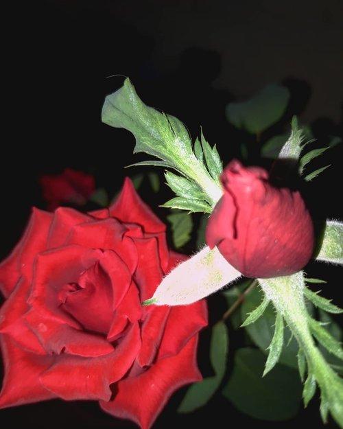 My red roseAhhhh cintaaa pulllll dah yaaa.. cakepppp bunganya..Kalo ditanya gimana ngerawatnya ya saiyah cm mau bilang apa pun yg dirawat ato pelihara dgn hati en penuh cinta maka hasilnya kaya ini (haaalaaaahhh)Gak sabar nunggu yg satunya mekar#panenmawar.....#rose #redrose #bunga #minigarden #tanaman #nature #igersasia #travelerblogger #womanlifestyle #ritystory #travelerlife #travelgram #womanblogger #igersindonesia #gallery_of_all #belajarmenanam #girlexplorer #clozetteid #mygallery #sonyxperia #homegarden #urbangarden #instagarden #womenwhoexplore #rityminigarden #berkebun #flower