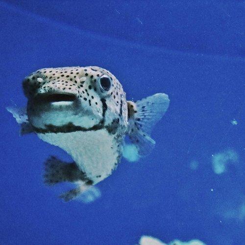 Ikan yang ga tau apa namanya 🐡🐡🐡.#Clozetteid #ggrep #seaworld