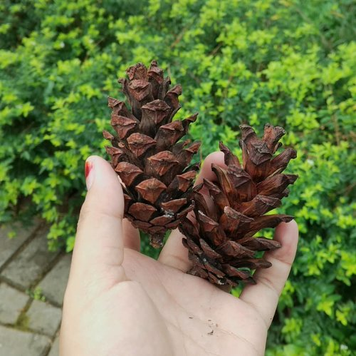 #clozetteid #pinecone #pine #forest #nature #friday #tgif #mantrianarani