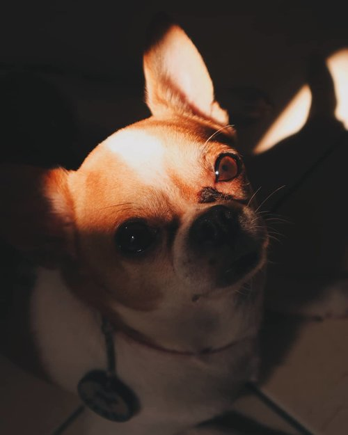 Those eyes tho❤️My baby❤️..#potd #vscocam #vsco #vscophile #exploretocreate #peoplescreatives #photoshoot #igdaily #vscodaily #instadaily #photooftheday #justgoshoot #vscogood #clozetteid #snapseed #snapseeddaily #pets #webstapets #instapets #cutenessoverload #chihuahua #herothechihuahua #herochihuahua #onlychihuahuas #chihuahuafanatics #chihuahuaism #barked #9gag