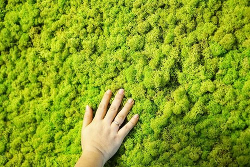 """<div class=""""photoCaption"""">Indoor decoration yang lagi super heits di Singapore, it's a living breathing moss. So soft, so green and no need any sunlight, so it's perfect for a state of the art inside our home that is moist. So it is very low maintenance, doesn't need waterint at all, it absorb moist from the air. <br />  <a class=""""pink-url"""" target=""""_blank"""" href=""""http://m.clozette.co.id/search/query?term=moss&siteseach=Submit"""">#moss</a>  <a class=""""pink-url"""" target=""""_blank"""" href=""""http://m.clozette.co.id/search/query?term=mosswall&siteseach=Submit"""">#mosswall</a>  <a class=""""pink-url"""" target=""""_blank"""" href=""""http://m.clozette.co.id/search/query?term=indoordecoration&siteseach=Submit"""">#indoordecoration</a>  <a class=""""pink-url"""" target=""""_blank"""" href=""""http://m.clozette.co.id/search/query?term=Singapore&siteseach=Submit"""">#Singapore</a>  <a class=""""pink-url"""" target=""""_blank"""" href=""""http://m.clozette.co.id/search/query?term=decoration&siteseach=Submit"""">#decoration</a>  <a class=""""pink-url"""" target=""""_blank"""" href=""""http://m.clozette.co.id/search/query?term=interiordesign&siteseach=Submit"""">#interiordesign</a>  <a class=""""pink-url"""" target=""""_blank"""" href=""""http://m.clozette.co.id/search/query?term=love&siteseach=Submit"""">#love</a>  <a class=""""pink-url"""" target=""""_blank"""" href=""""http://m.clozette.co.id/search/query?term=life&siteseach=Submit"""">#life</a>  <a class=""""pink-url"""" target=""""_blank"""" href=""""http://m.clozette.co.id/search/query?term=Clozetteid&siteseach=Submit"""">#Clozetteid</a>  <a class=""""pink-url"""" target=""""_blank"""" href=""""http://m.clozette.co.id/search/query?term=hello&siteseach=Submit"""">#hello</a>  <a class=""""pink-url"""" target=""""_blank"""" href=""""http://m.clozette.co.id/search/query?term=indoorplants&siteseach=Submit"""">#indoorplants</a>  <a class=""""pink-url"""" target=""""_blank"""" href=""""http://m.clozette.co.id/search/query?term=plants&siteseach=Submit"""">#plants</a></div>"""