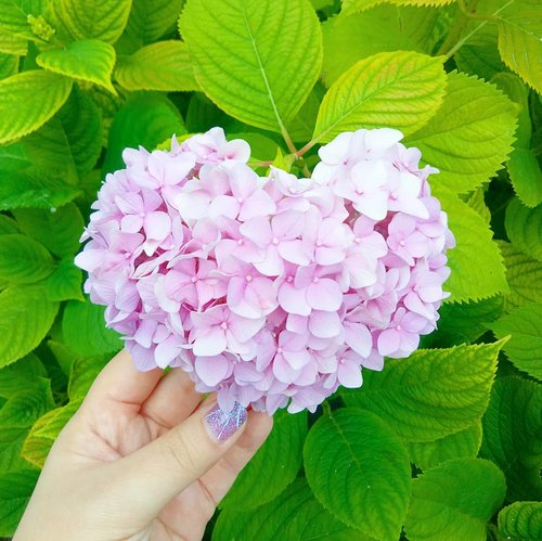 """So Sakura was definitely not in season anymore but Ajisai is! Hey,  don't be mean to Ajisai,  she's like the more laid back, less ambitious , less popular but actually as gorgeous cousin.  Reminds me of me in thus cutthroat """"beauty industry"""" 😂😂😂. I'm in awe of the heart shaped pink ones!  #ajisai #hydragea #pink #pinkajisai #heartshapedflower #heartshaped  #pinkinjapan #pinkintokyo #japantrip2018  #pinkholiday #pinkjalanjalan #jalanjalan #clozetteid #sbybeautyblogger #beautynesiamember #bloggerceria #traveltheworld #itchyfeet #wanderer #traveler #blogger #influencer #travelblogger  #lifestyleblogger #citizenoftheworld #sumida #sumidapark  #japan #semicharmedlife #lifewelltraveled"""