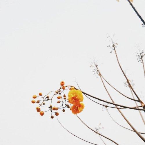 Yellow Silk Cotton TreeAtau nama latin Cochlospermum regium atau nama gemesny buttercup tree. Ini cantik banget numbuh disekitaran rumah. Tanaman ini dipercaya sebagai tanaman dimana Budha dapet hidayah. Bunganya kuning cerah ini dimanfaatkan sebagai tanaman obat termasuk penyakit kulit.  Tapi saya belum nemu sih brand yg make tanaman ini untuk produknya. Hmmm kayaknya seru juga nih buat infused oil sabun 🤔=======#clozetteid#sayapilihbumi#zerowasteindonesia#BijakBerplastik#TolakSekaliPakai#10MenitUntukBumi