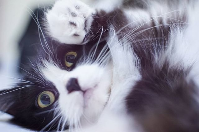 Good meowning hoomaann 😻😘! ....#mykittybeauty #clozetteid #catsofinstagram #catoftheday